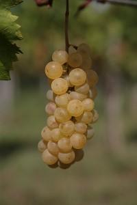Fornazarič grozdje
