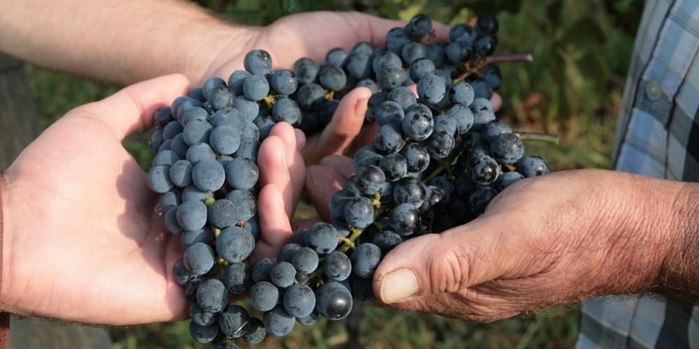 kmetija-fornazaric-grozdje