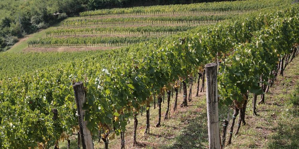 kmetija-fornazaric-vinograd