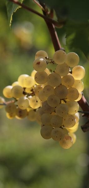 kmetija-fornazaric-bel-grozd